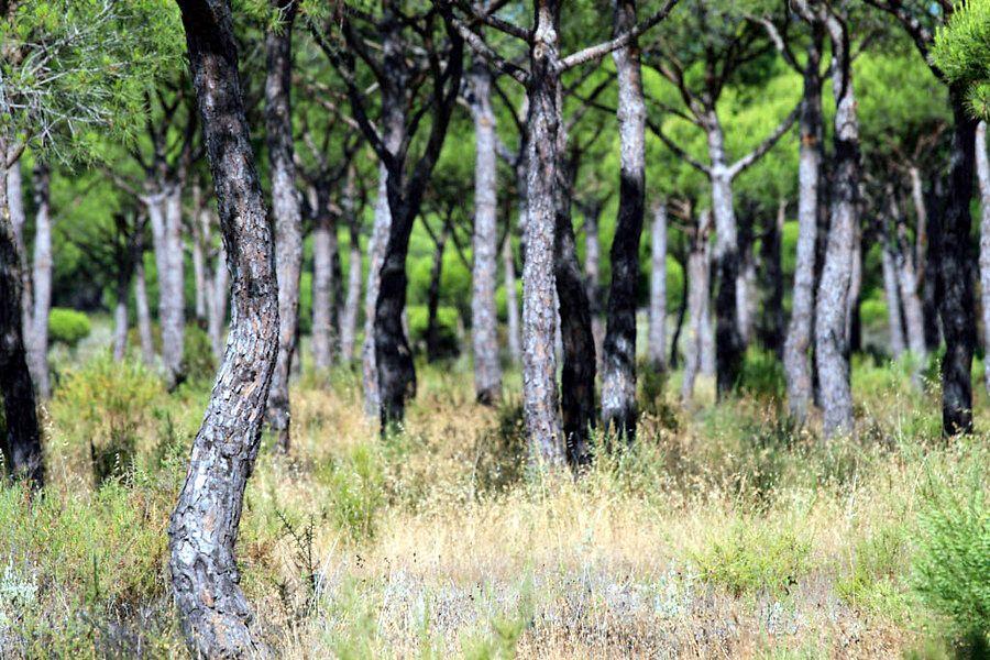 Doñana. Bosque de pinos