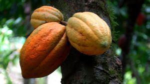 El cacao, producto gourmet en la Republica Dominicana