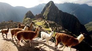 Llamas en Machu Pichu