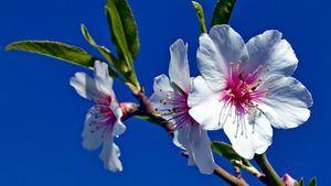 El Festival de los Almendros en Flor en el sur de Portugal