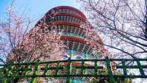 Taipéi celebra la floración de los cerezos