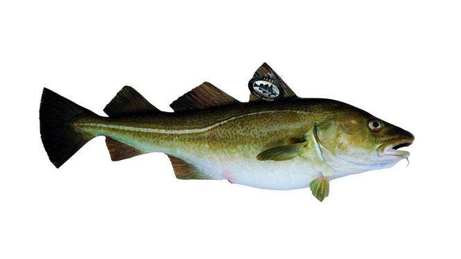 El Skrei, el bacalao noruego cumple 25 años en España