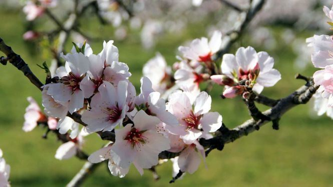 Fiesta de los Almendros en flor en Figueiras de Castelo Rodrigo