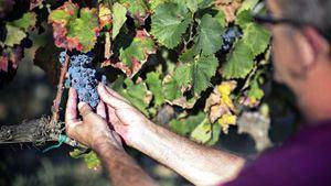 Los viñedos siguen profundamente arraigados a la localidad de Rosas