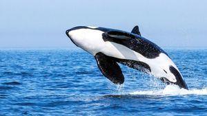 Orcas Turmares