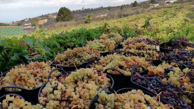 AVIBO presenta un plan de rescate del sector vitivinícola de Canarias