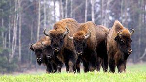 Bialowieza: el mayor bosque virgen de Europa, hogar de los últimos bisontes salvajes
