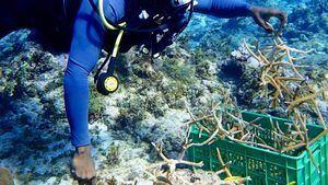 Más de 2700 piezas de coral plantadas en el White River Fish Sanctuary de Jamaica