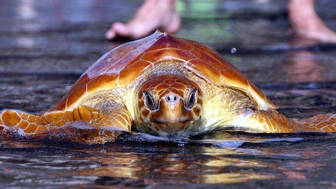 El Hierro devuelve a su hábitat natural tres Tortugas Bobas