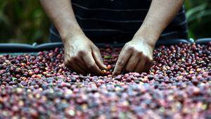 Honduras, Guatemala, Costa Rica y Nicaragua los mayores productores de café en Centroamérica