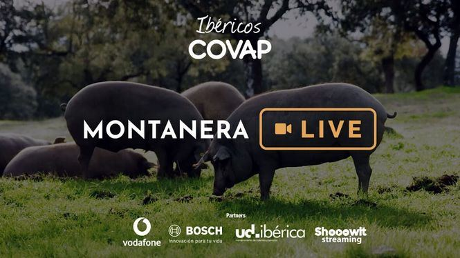 COVAP gracias a Vodafone retransmitirá en streaming la crianza del cerdo 100% ibérico