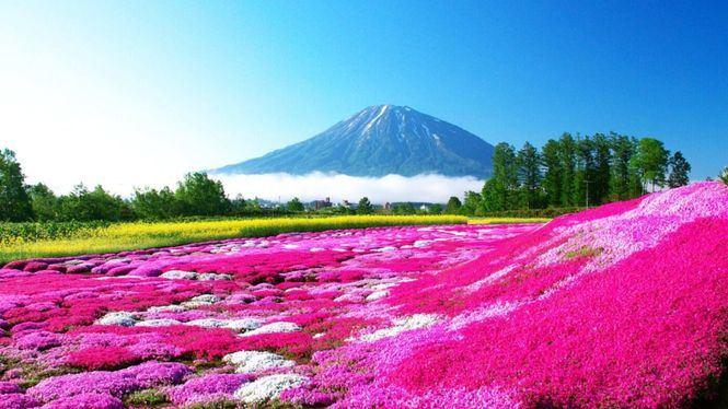 Floración de los cerezos sakura en Japón