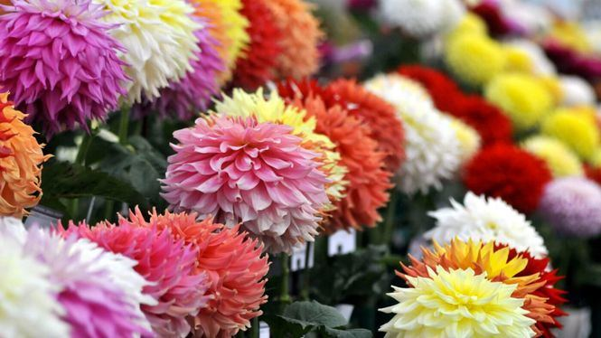 Festivales de flores en Gran Bretaña