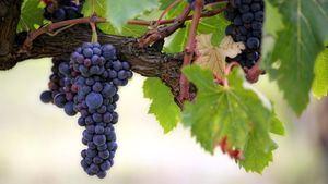 El trabajo de las bodegas que elaboran vinos en la España vaciada