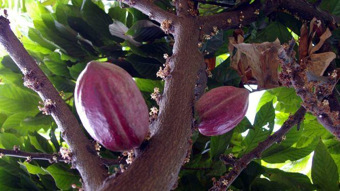 El cacao, uno de los productos estrella de la gastronomía de Centroamérica