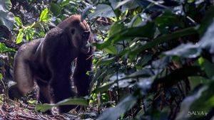 La ruta de los gorilas de llanura en el Congo