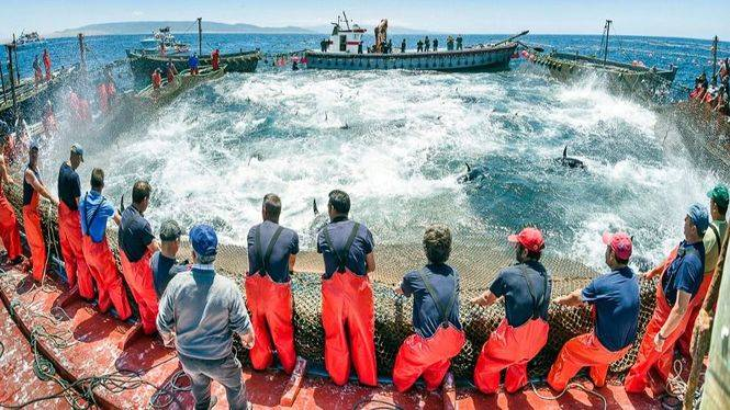La Costa de Cádiz, celebra la llegada del atún rojo