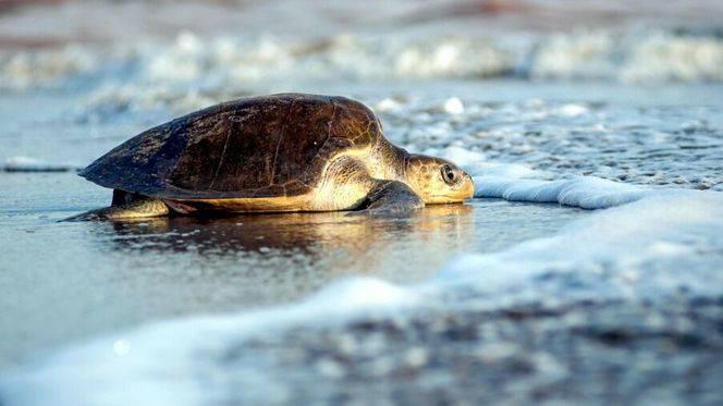 Comienza la liberación de tortugas en Puerto Vallarta y Riviera Nayarit