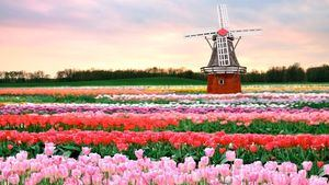 Holanda. Tulipanes