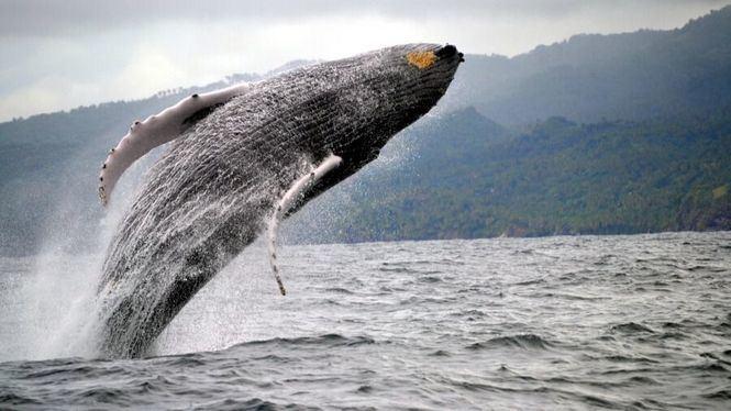 Samaná, el avistamiento de ballenas