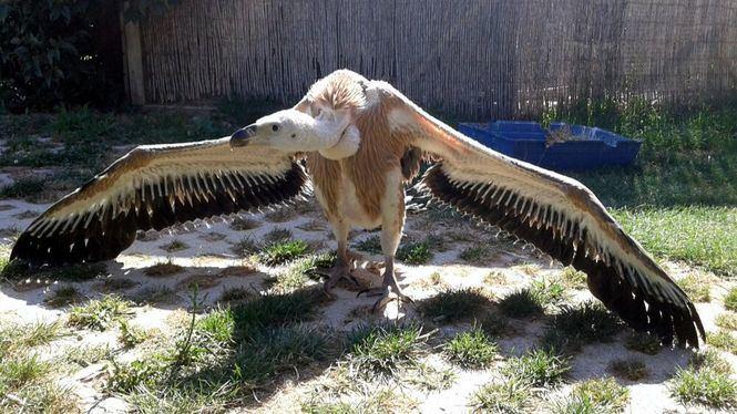 El Parque Sendaviva esta criando un pollo de buitre leonado