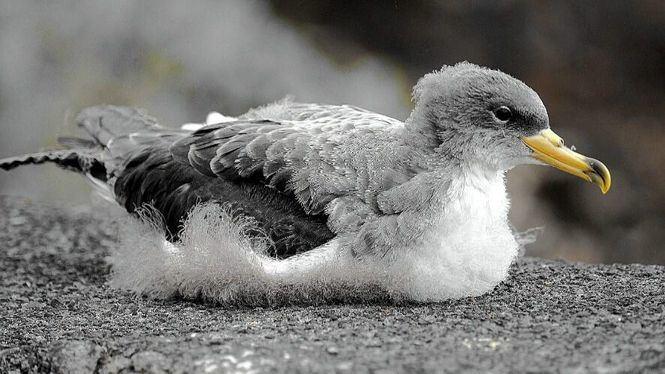 El Cabildo de El Hierro recupera un total de 397 aves