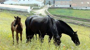 Menorca anima a admirar a sus caballos de raza en una espectacular feria