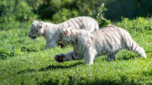 Nacen en el Parque Sendaviva dos crías de tigre blanco