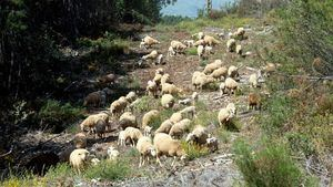 El pastoreo tradicional, una prevención contra los incendios