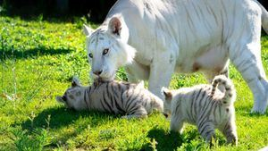 Las crías de tigre blanco de Sendaviva ya tienen nombre
