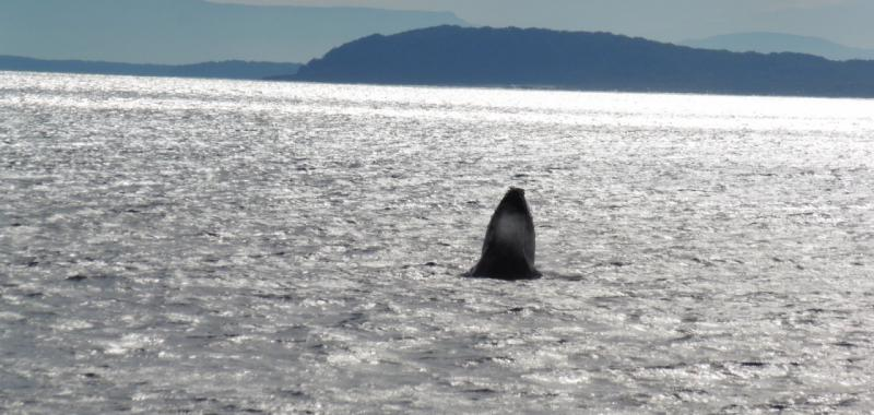 Whale Watching (Ruta Costera Melbourne-Sydney)
